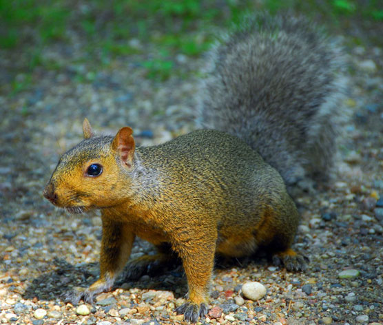 Big-Red-Squirrel-3