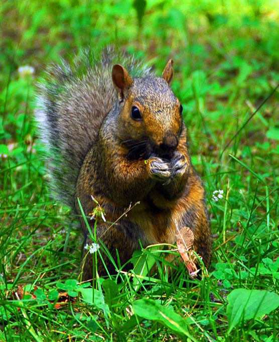 Big-Red-Squirrel