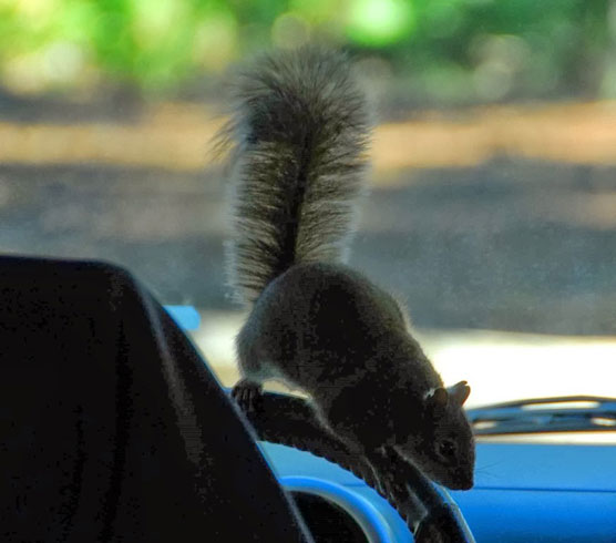 Squirrel-Driver